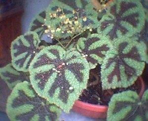Iron Cross Begonia