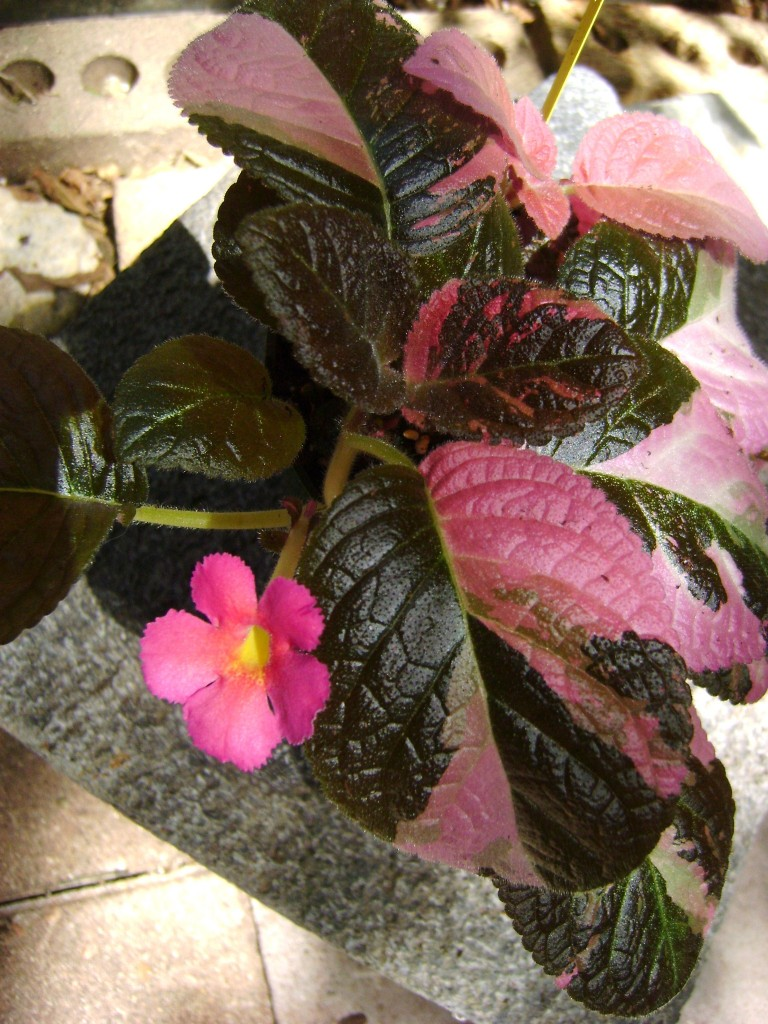 Episcia Ember Lace blooming a bright pink flower