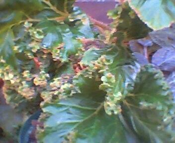 Rhizomatous Begonia Crestabruchii