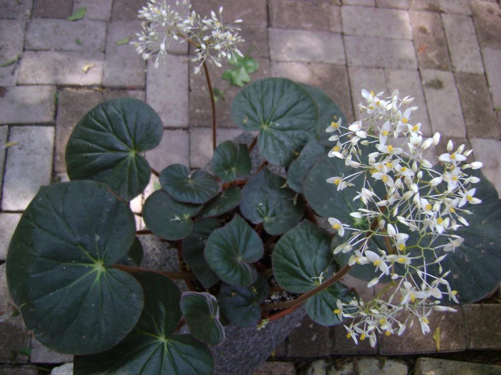 Rhizomatous Begonia Acetosa