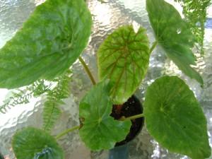 Rhizomatous Begonia Lily Pad