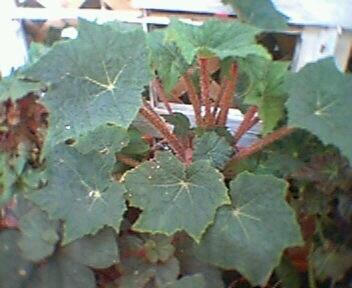 Begonia Cachuma