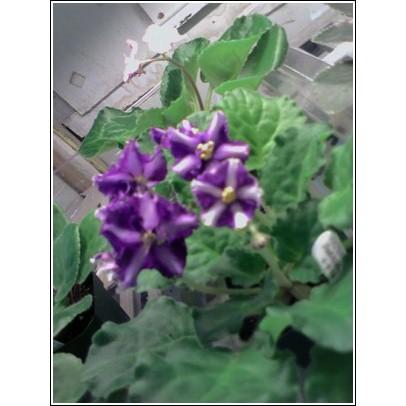 Chimera African Violet