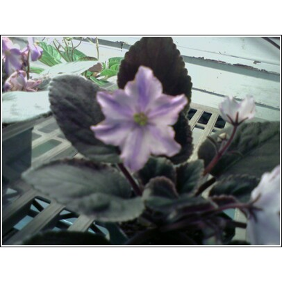 African Violet Chimera