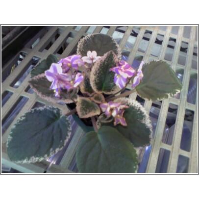 Chimera African Violet Pinwheel flower