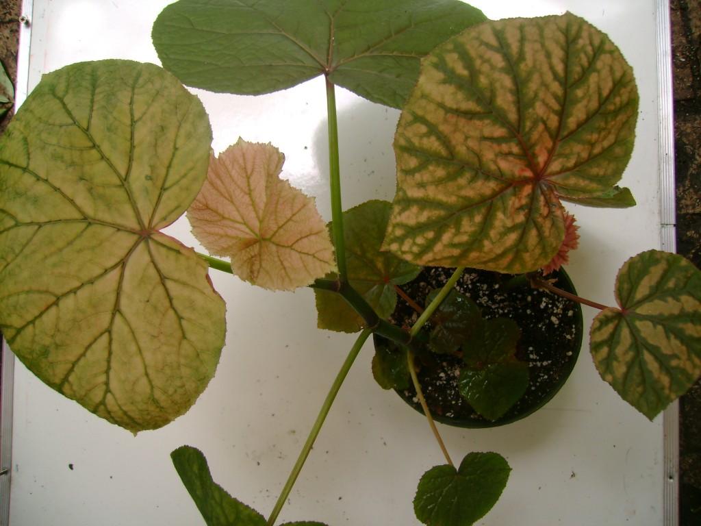 Begonia Vitifolia var Grandis