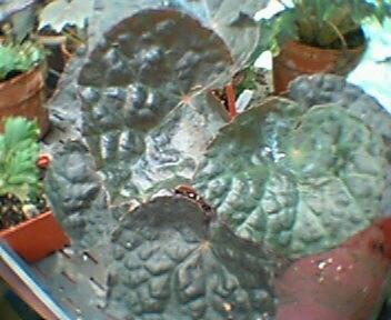 Begonia George Fewkes