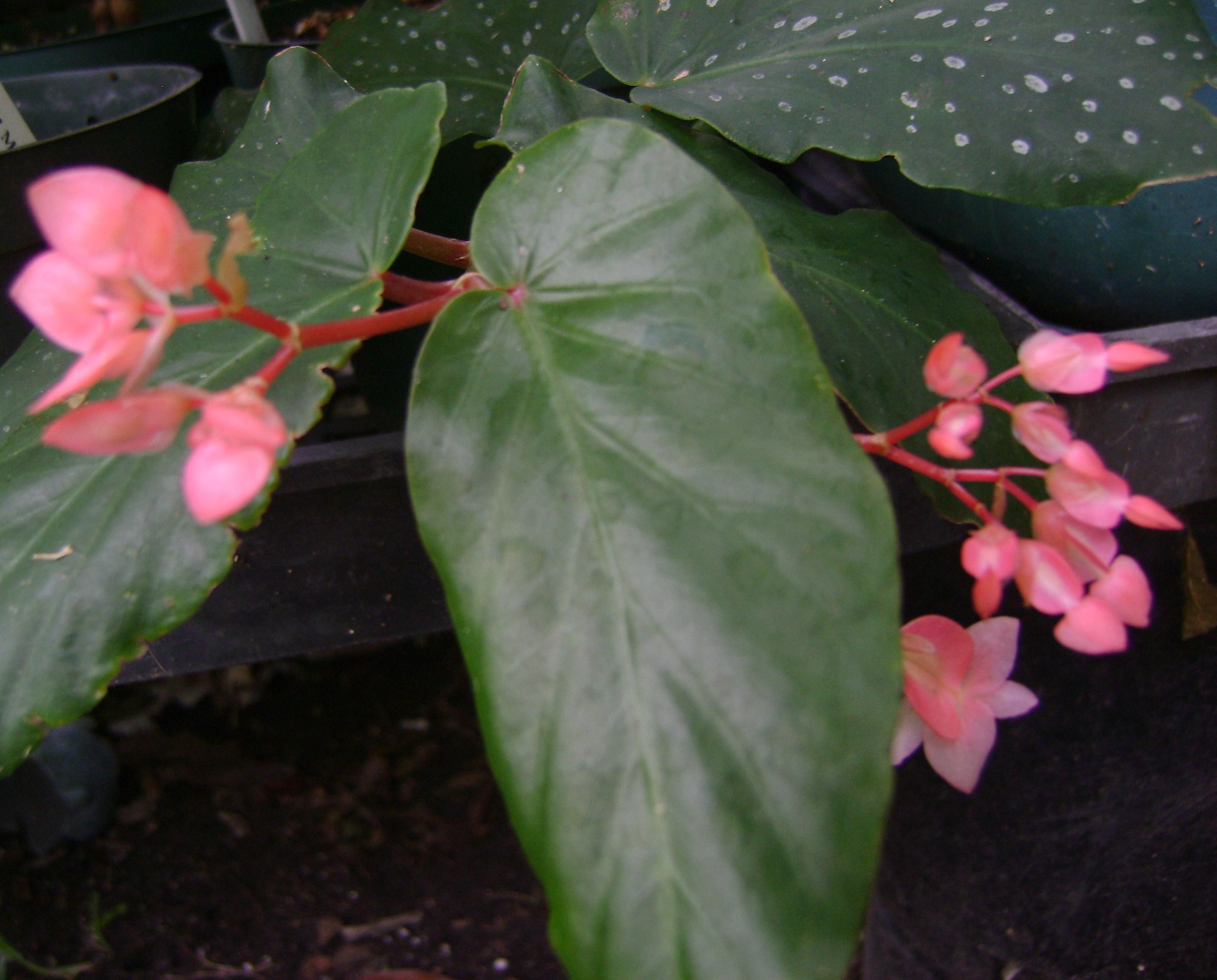 Angel Wing Begonias - Toni's:) Begonias * Episcias ...