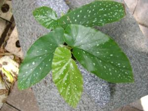 Angel Wing Begonia Blooms White