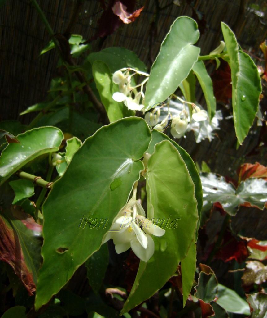 Angel Wing Begonia White Flowers