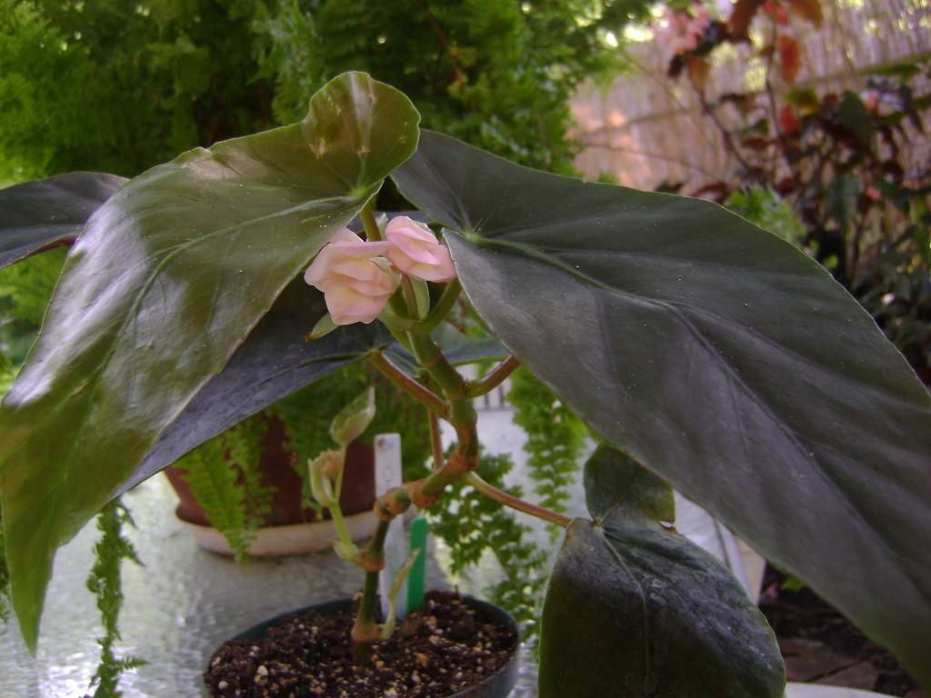 Angel Wing Begonia Chelsea