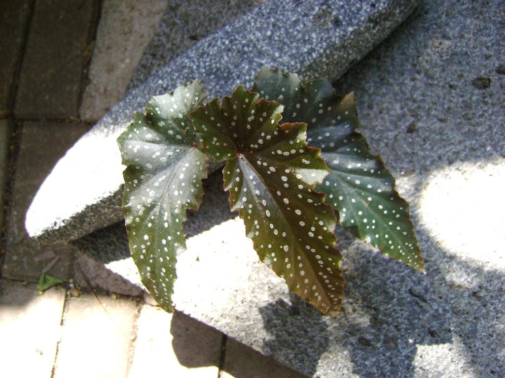 Angel Wing Begonia Miss Mummy