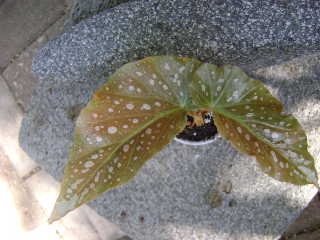 Angel Wing Begonia Tom Ment