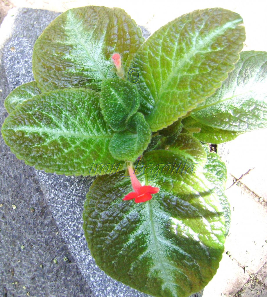 Episcia Frosted Emerald