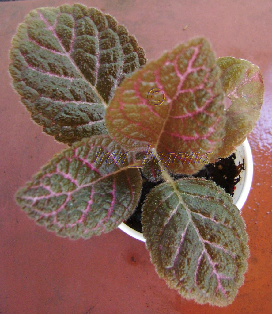 Episcia Scarlett Ribbon