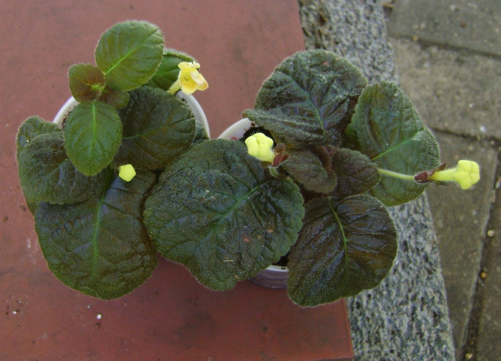 Episcia Flamingo