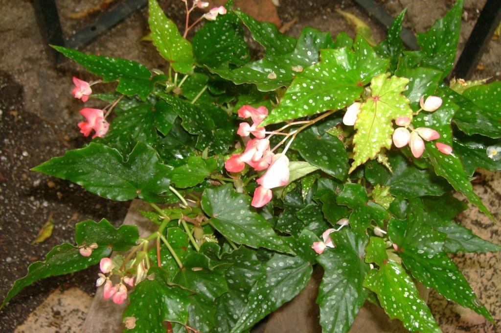 Begonia Louis Burke