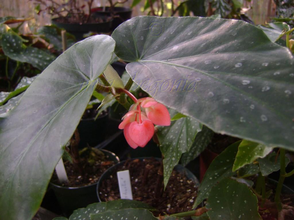 Angel Wing Begonia Di-Shasta