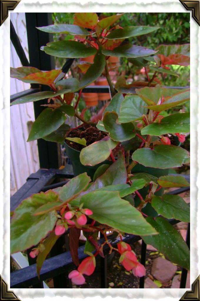 Angel Wing Begonia Jean Pernet