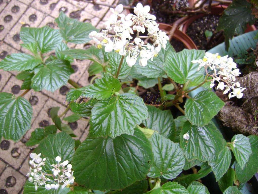 Fibrous Begonia Scabrida