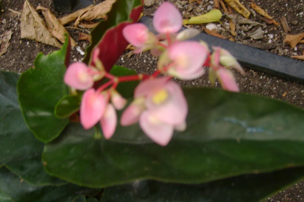 Angel Wing Begonia Castaway