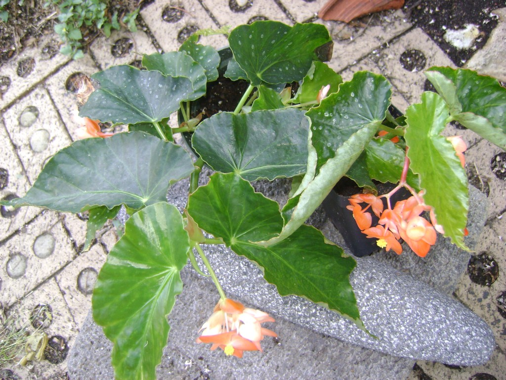 Angel Wing Begonia Orange Rubra