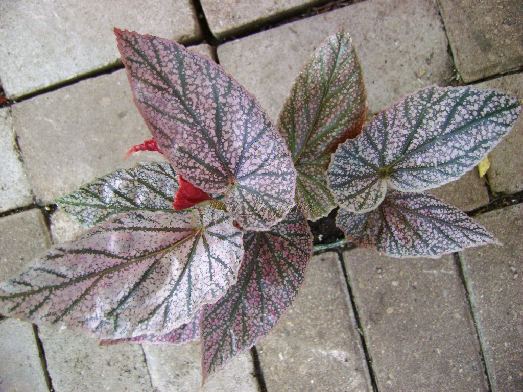 Angel Wing Begonia Maurice Amy