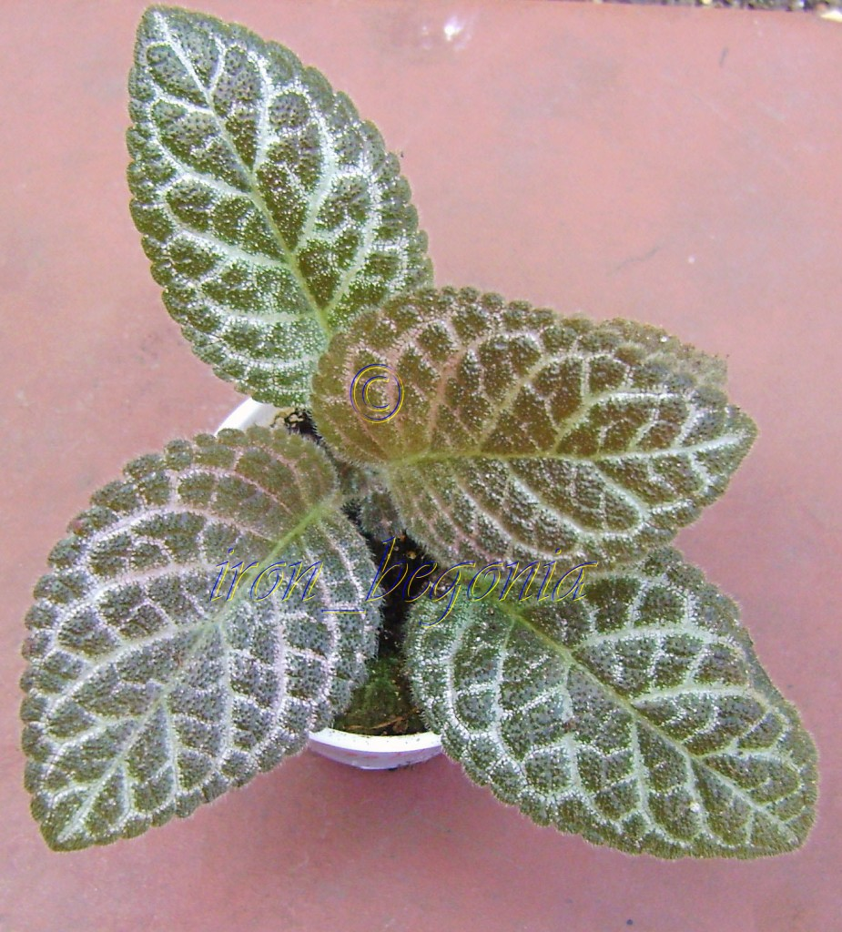 Episcia Jim's Golden Eagle