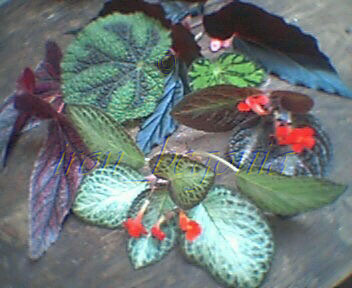 Episcia and Begonia cuttings