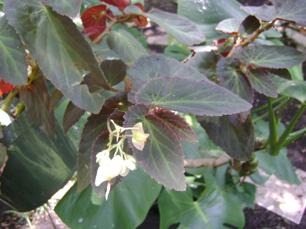 Shrub type begonia Brazilian Lady