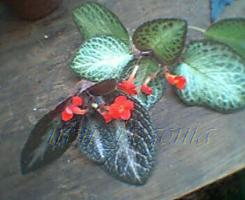 Episcia cuttings