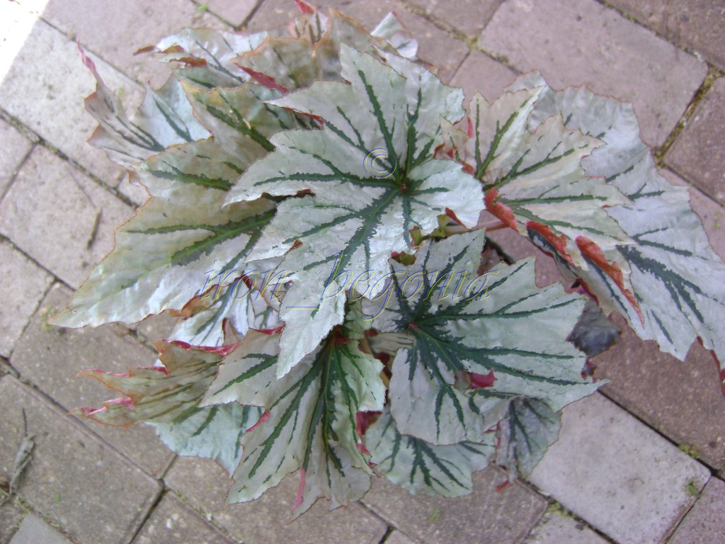Angel Wing Begonia Looking Glass