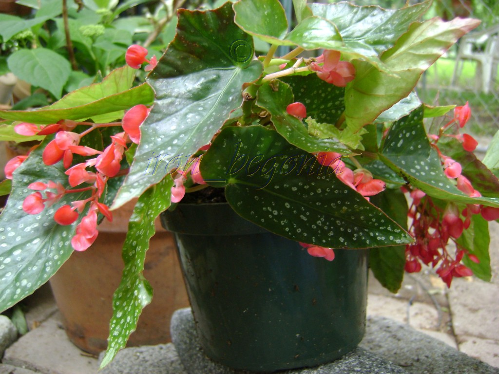 Angel Wing Begonia Snow Capped