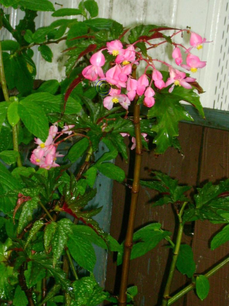 Angel Wing Begonia Sophie Cecile