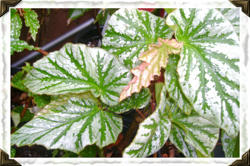 Angel Wing Begonia Teen Angel